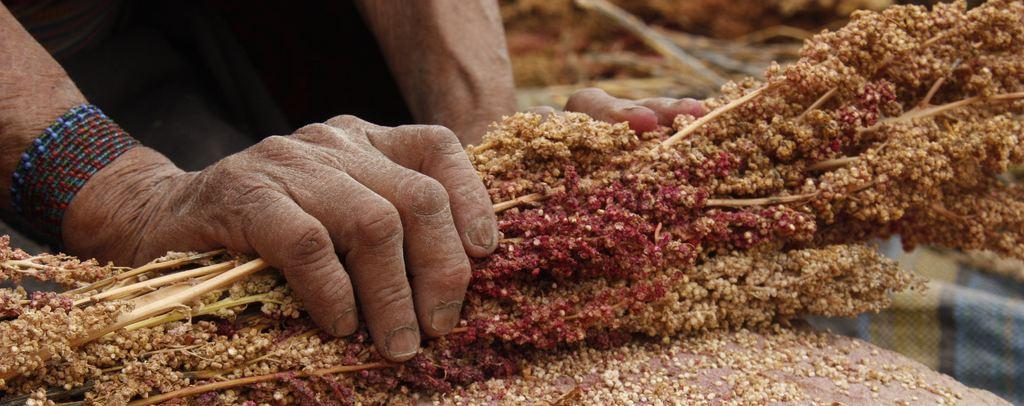 La FAO a-t-elle ruiné l'avenir du riz des incas ?